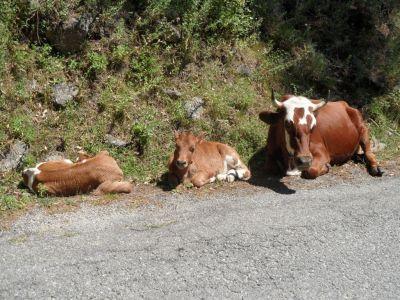 Roadtrip cows - Corsica 2011